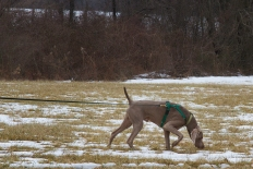 Allison Lucas's Weimaraner Bo, tracking at Fair Hill