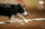 Border Collie Johnny B clearing a hurdle at the 2013 Cynosport World Games agility competition.