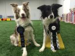 Chelsea Singer's Mr. Handsome Dakota earned a perfect weekend for himself & Mr. Crackhead earned his Fullhouse Championship at the March 2015 Oriole/Artful Dodgers CPE trial !
