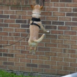 Chi Chi searches both high and low for Birch odor at a K9 Nose Work trial