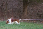 Donn Birdsall's Welsh Springer Spaniel Cody, tracking in Joyce Lily's Intermediate Tracking Class