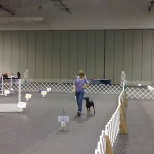 Oriole member Debbie Kaminski takes her German Pinscher Indy through their winning paces to capture 1st place in the Excellent Rally division of the 2014 All Star Tournament in York, PA. See the winning run (a perfect score!) at https://www.youtube.com/watch?v=0JUiZqg1qmc