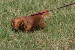 Joan Madores' Dachshund Elysium Lily of the Fields, tracking in Kristi Eisenberg's Intermediate Beginning Tracking Class