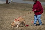 Sisi Smith and her Golden Retriever Belle, tracking in Joyce Lily's Intermediate Tracking Class