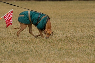 Tom Shar's Rhodesian Ridgeback Frieda, at the TDX start flag. This photo was taken at the Hyattsville Tracking Test at Fair Hill in spring 2014. As is usual in the local tracking community, Oriole members and students were there as working volunteers. Hyattsville members reciprocated by helping at the Oriole Tracking Test.