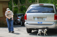 Smooth Fox Terrier Caijan and Betty Gardner begin a vehicle search at the Canine Copilots K9 Nose Work trial held in June at the Roland Park Country School. Photo credit to Canine Copilots LLC Photography (http://caninecopilots.smugmug.com/).