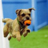 Donna Sapp's Border Terrier Fells returning from the flyball box and jumps at the tournament at which he earned his Flyball Master Championship (15k) title and his MB-FDCH-Silver. He was a lean mean jumping machine!