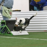 Phoenix, run by Patricia Parkent, demonstrates a 'swimmer's turn' off the flyball box with the ball successfully captured for the return over 4 jumps. Besides a racing harness, Phoenix is wearing safety wraps designed to protect stop pads from the sudden acceleration and deceleration performed during the relay race.