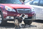 Member Connie Lewis' dog Rose searching car as she earns her NW1 title at the Oriole Nose Work trial.