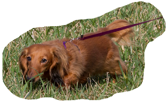 DachshundTracking