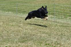 Odessa Reich von Vereingite Stolz S.T.A.R. puppy, TD, BCAT, DCAT, CGC, CGCA, CGCU, TKN, TKI, IT (German Shepherd Dog/ 2 years old/ DOB: 1/5/16) earning his DCAT on 11/4/17 (500 points) title