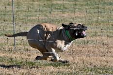 Female Bullmastiff Charlie: CH Boundless Go Big or Go Home TxBkYx CD CGC RE RA RN CAA CA DJ DN AXP OAP OAJ NJP NAP BCAT. Owned by Debbe Quadri