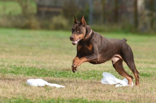 """Trouble, owned by Barbara Novak, just """"LOVES chasing those plastic bags""""."""